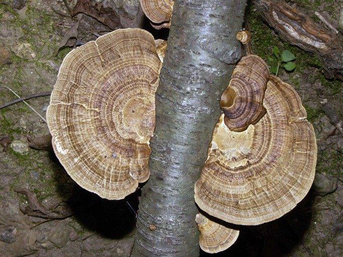 Трутовик бугристый (Daedaleopsis confragosa)