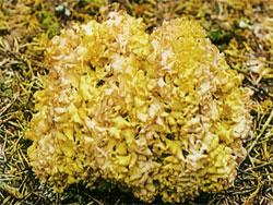 Спарассис курчавый (Грибная капуста)