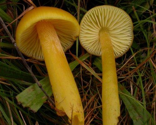 Гигроцибе жёлто-зелёная (Гигроцибе темно-хлорная)