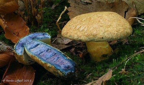 Гиропорус синеющий