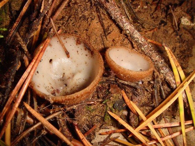 Гумария полушаровидная (Humaria hemisphaerica)