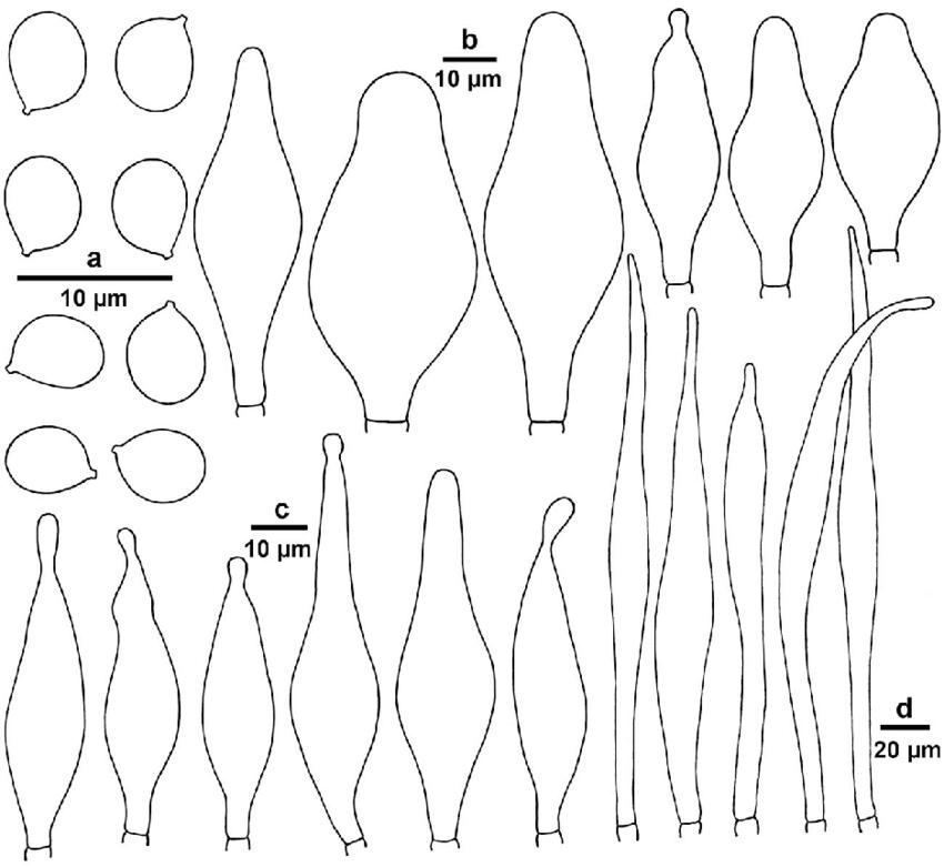 Pluteus umbrosoides