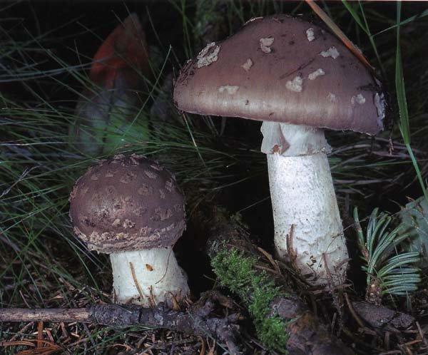 Мухомор толстый (мухомор коренастый)