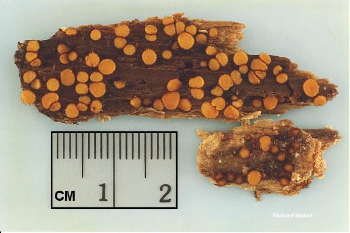 scutellinia erinaceus