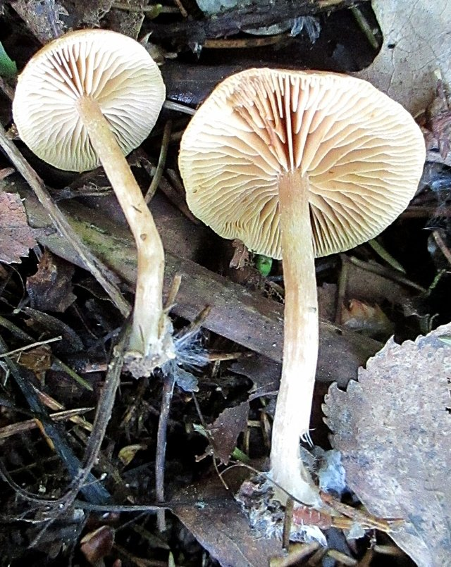 Наукория обсыпанная (Naucoria subconspersa)