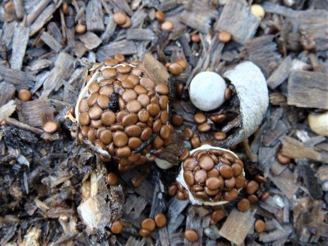 Гнездовка бесформенная