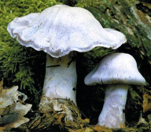 Паутинник бело-фиолетовый