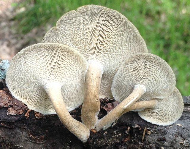 Трутовик ямчатый (Polyporus arcularius)