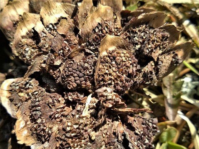 Пукциниаструм пятнистый (Pucciniastrum areolatum)