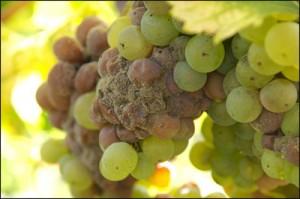 Благородная винная плесень