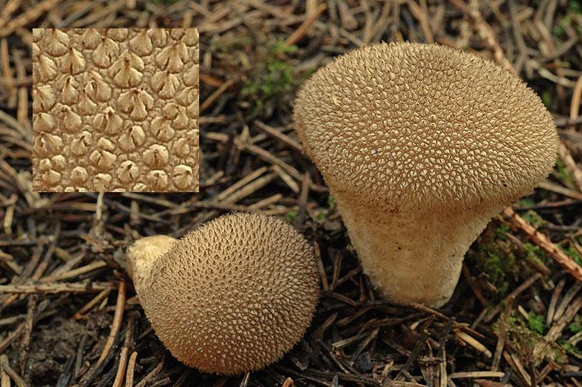 Дождевики: описание съедобных видов, рецепты, предупреждения о ядовитых грибах