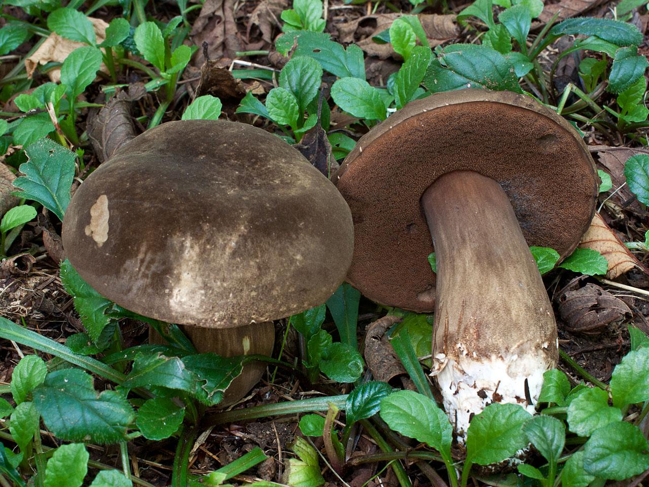 картинки или фото съедобных грибов господь