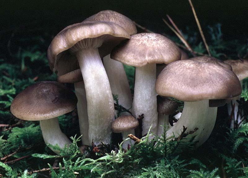 гриб рядовка скученная фото и описание