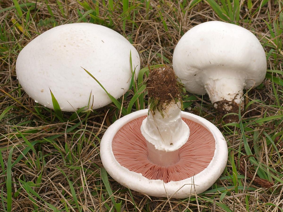 грибы печерички фото