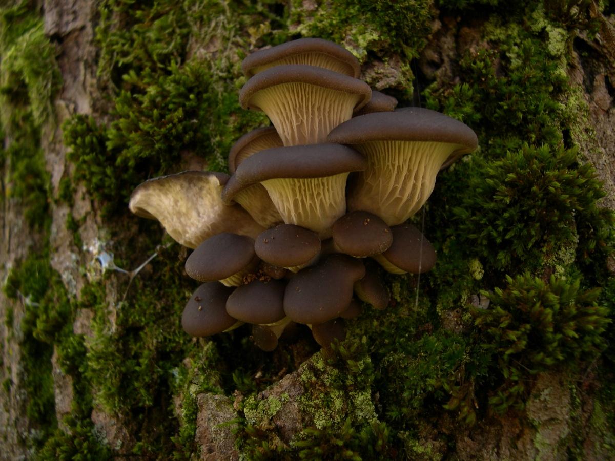 вешенки грибы фото съедобные