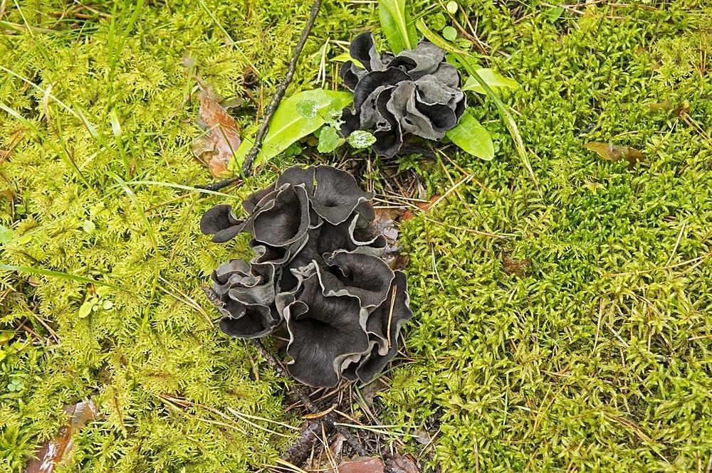 гриб черная лисичка фото