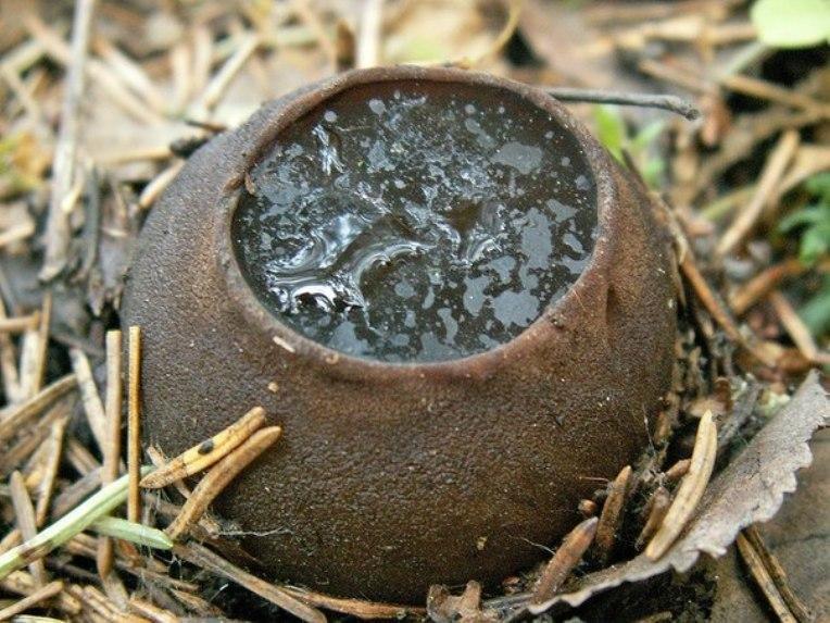 Редкий гриб саркосома фото