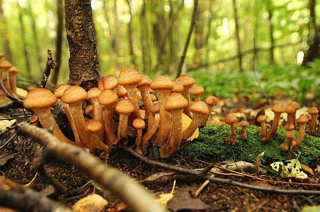 опенок грибы фото следующий