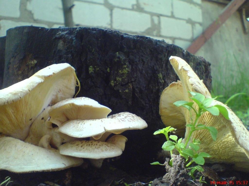 даже грибы растущие на пнях фото новым правилам