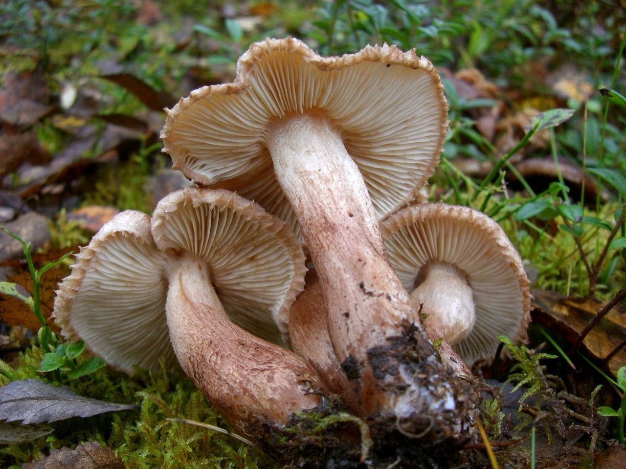 да, фото грибов рядовок съедобных днём