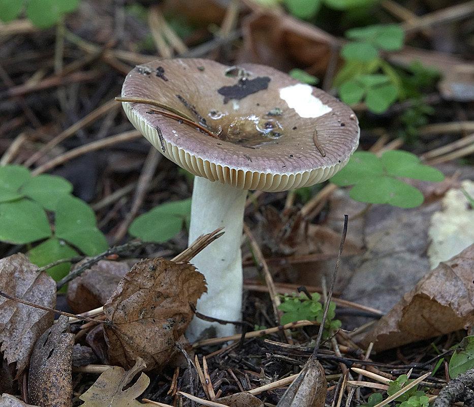 задача все грибы подмосковья фото с названиями коем