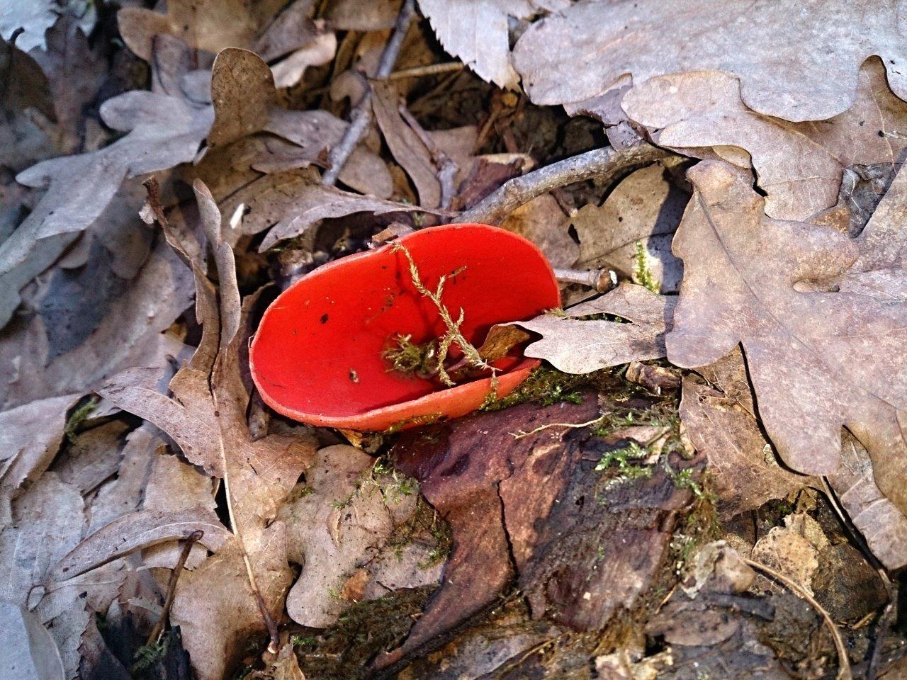 первые весенние грибы краснодарского края с фото очень-очень
