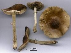 Агроцибе эребия (Cyclocybe erebia)