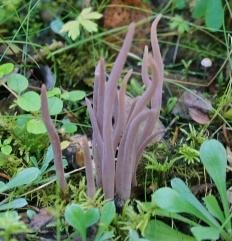 Аллоклавария пурпуровая (Alloclavaria purpurea)