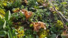Аррения лопатчатая (Arrhenia spathulata)