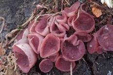 Аскокорине цилихниум (Ascocoryne cylichnium)