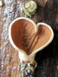 Аурикулариопсис уховидный (Auriculariopsis ampla)