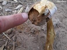 Баттаррея веселковая (Battarrea phalloides)
