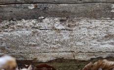 Белый домовой гриб (Amyloporia sinuosa)