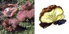 Блюдцевик жилковатый (Disciotis venosa)
