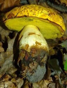 Боровик жёлтый (Sutorius junquilleus)