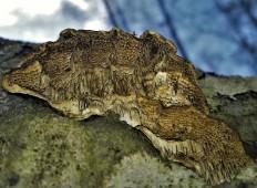 Цериопорус мягкий (Cerioporus mollis)