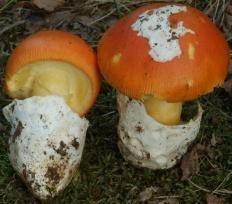 Цезарский гриб (Мухомор цезаря) (Amanita caesarea)
