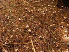 Чесночник обыкновенный (Mycetinis scorodonius)