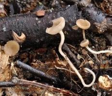 Цибория аментацея (Ciboria amentacea)