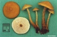 Цистодерма остистая (Cystoderma amianthinum)