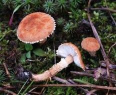 Цистодерма зернистая (Cystoderma granulosum)