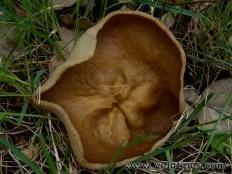 Дисцина жилковатая (Disciotis venosa)