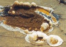 Домовой гриб (Serpula lacrymans)