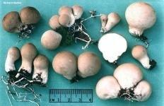 Дождевик грушевидный (Lycoperdon pyriforme)