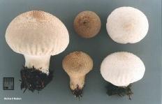 Дождевик настоящий (Lycoperdon perlatum)