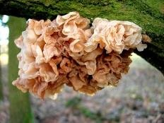 Дрожалка листоватая (Phaeotremella foliacea)