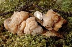 Дрожалка мозговая (Tremella encephala)