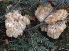 Ежовик альпийский (Hericium flagellum)