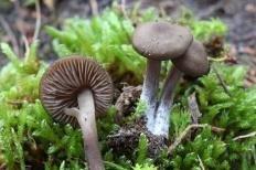 Энтолома шелковистая (Розовопластинник шелковистый) (Entoloma sericeum)