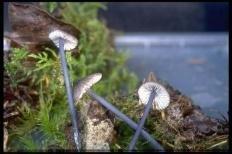 Энтолома синеватая (Entoloma cyanulum)
